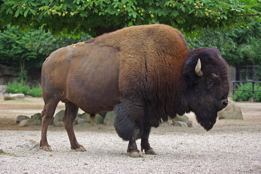 how to say bison in french